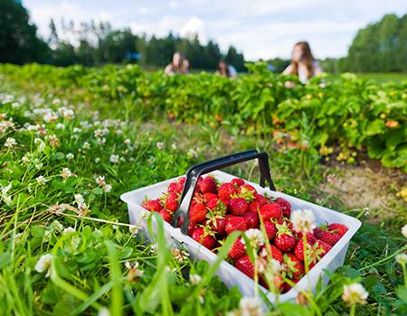 Cueillette de fraises à la ferme près de Blangy-sur-Bresle et Neufchâtel-en-Bray